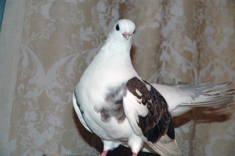 Разведение голубей скачать книгу бесплатно