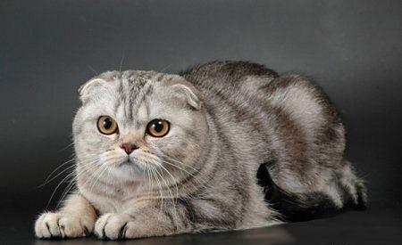 Продажа котят Вязки котов и кошек Доска объявлений