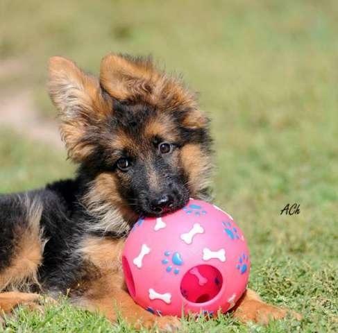 собака немецкая овчарка фото.