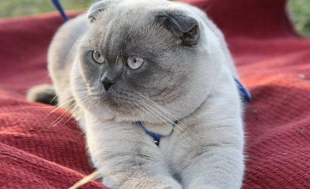 котенок шотландский вислоухий 3 месяца фото