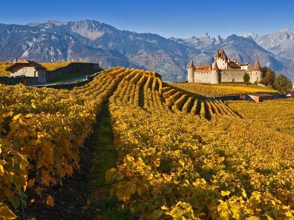 Виноградник, Швейцария. Автор фото: .