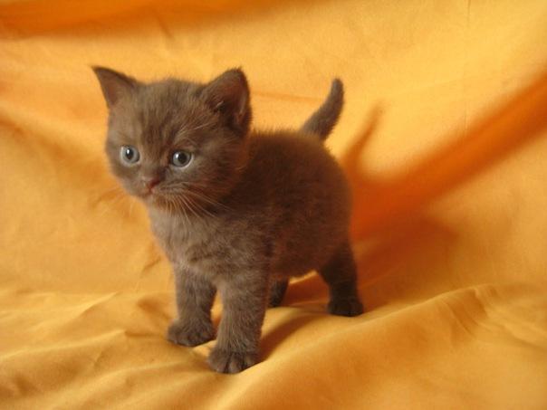 Хотите купить британского котенка?  Питомник Ольги Барсуковой.