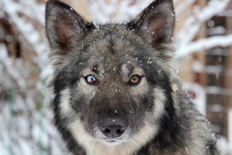 фото волка собак порода помесь