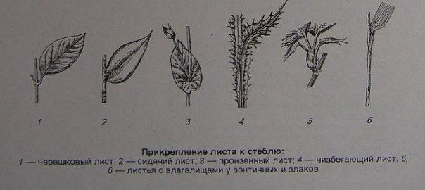 sidyachiy-vlagalishniy-i-chereshkoviy-listya