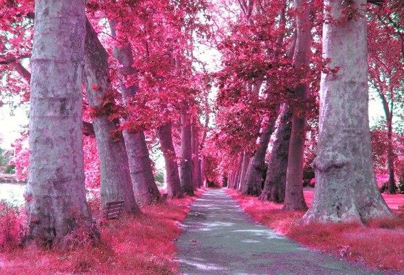 природа, аллея, розовый.