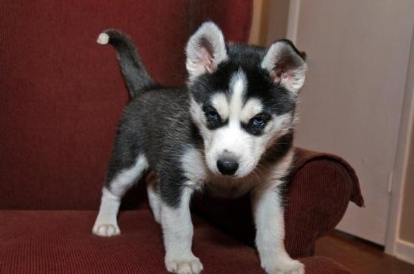 куплю щенка сибирской хаски.