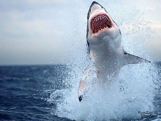 Сошлись в не равном бою белая акула и тюлень.  Да тут все по взрослому
