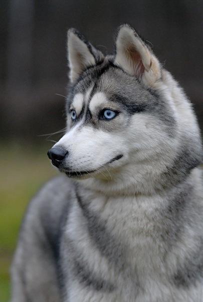 Хаски.  Глаза цвета неба.  - Раздел животные - Фотография на фотосайте.