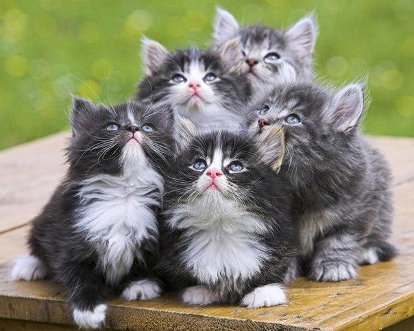 Сландо ессентуки куплю породистого кота.
