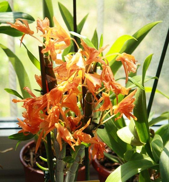 орхидея виды и уход в домашних условиях фото