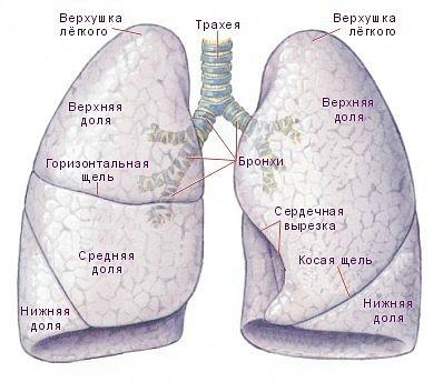 подъязычная кость; срединная щито-подьязычная связка; щитовидный хрящ...