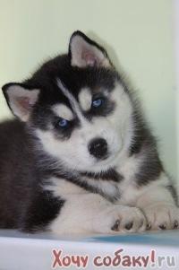 Желателно с красивыми глазами яркого голубого цвета.