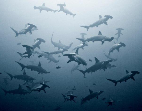 Стая бронзовых молотоголовых акул...