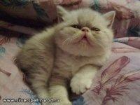 Галерея фотографий животных - Экзотические котята/Экзот Энакин, 1 месяц.