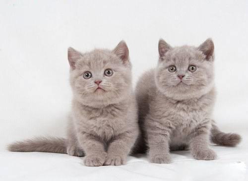 У моего кота британца родилось 6 котят , кому интересно пишите в личку.