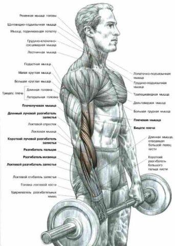 Старайтесь не отклонять корпус во время...  В этом упражнении нагрузка распределяется между бицепсом...