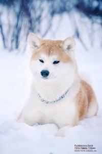 порода собак акита цена фото
