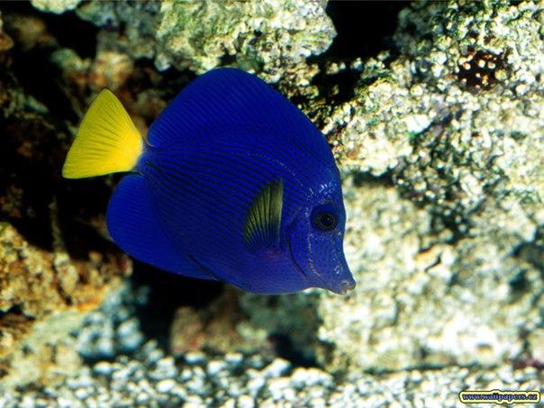 Маленькая синяя рыба с жолтым плавником обои для рабочего стола, открытки.