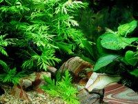 Аквариум.  Опубликовано Полина в Пнд, 13/02/2012 - 16:59.  Растения меняют круговорот веществ в аквариуме.