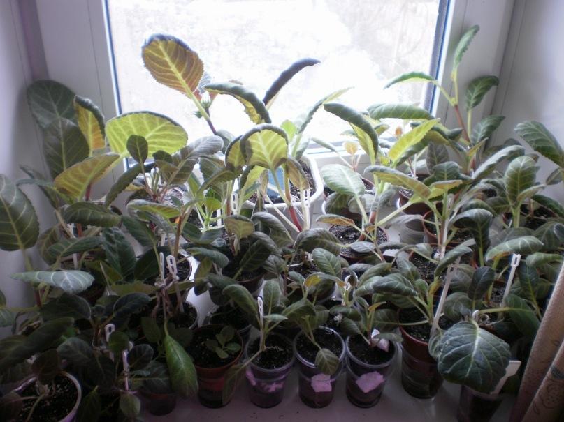 Выращивание глоксиний из семян. Y_077891a9