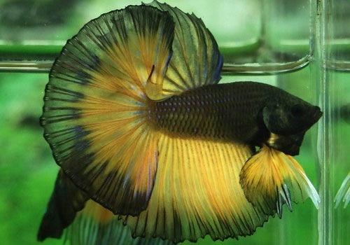 Яркая окраска и простота в скрещивании привлекли к этой рыбке внимание многих любителей - аквариумистов.