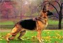 Хендлинг немецкой овчарки.  Дрессировка и воспитание собак.