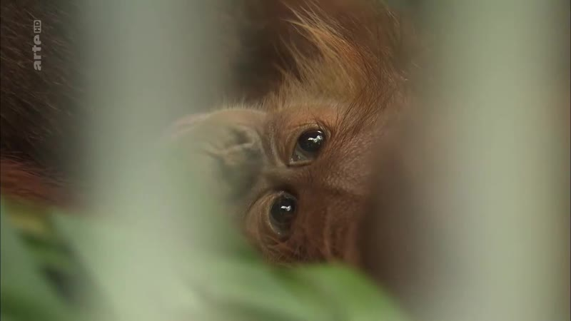 360 Geo - Les derniers orang-outangs de Sumatra смотреть онл