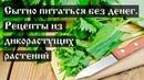Сытно питаться без денег Рецепты из дикорастущих растений