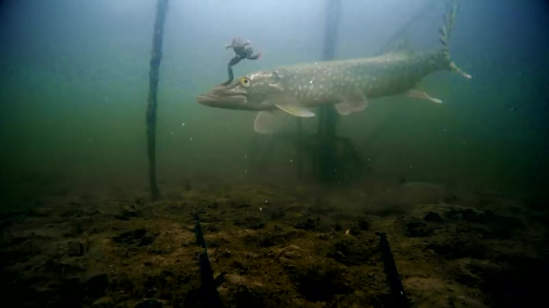 ТОП 20 ЛУЧШИЕ АТАКИ ЩУКИ НА ЖИВЦА! Рыбалка на жерлицы. Подводная съемка.mp4
