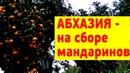Абхазия - сбор мандаринов, и осенние опята под ними, Сухуми, 2018
