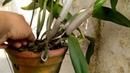 Kinh nghiệm giúp lan catlia nở hoa đúng tết