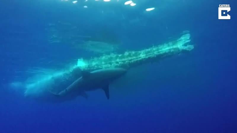 Группа дайверов засняла огромную белую акулу, питающуюся тушей кита под водой у побережья Вайкики, Гавайи, США, 18 янва 2019 г