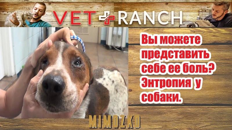 Vet Ranch на русском - Вы можете представить себе ее боль?! Заворот века у собаки | Can You Imagine This Pain?!