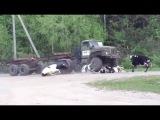 ДТП с животными. Грузовик лесовоз врезается в стадо коров. Truck crashes into a herd of cows.