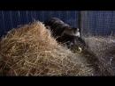 Енотовидная собака Клубничка и ее яблочко Стая