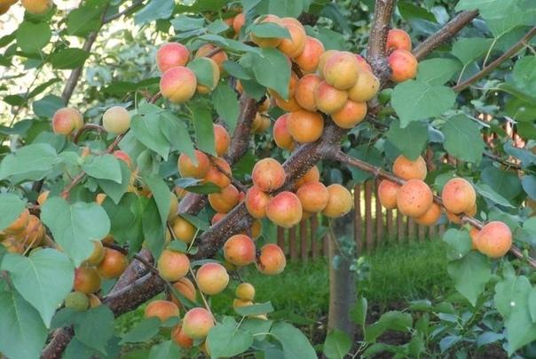 Как вырастить сладкие абрикосы в средней полосе Современный дачник стремительно расширяет диапазон выращиваемых плодовых культур. Никого уже не удивляет, что у соседа слева плодоносит черешня, а