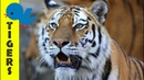 Tigers for Little Ones: Preschool Learning about Tigers for Kids - FreeSchool Early Birds
