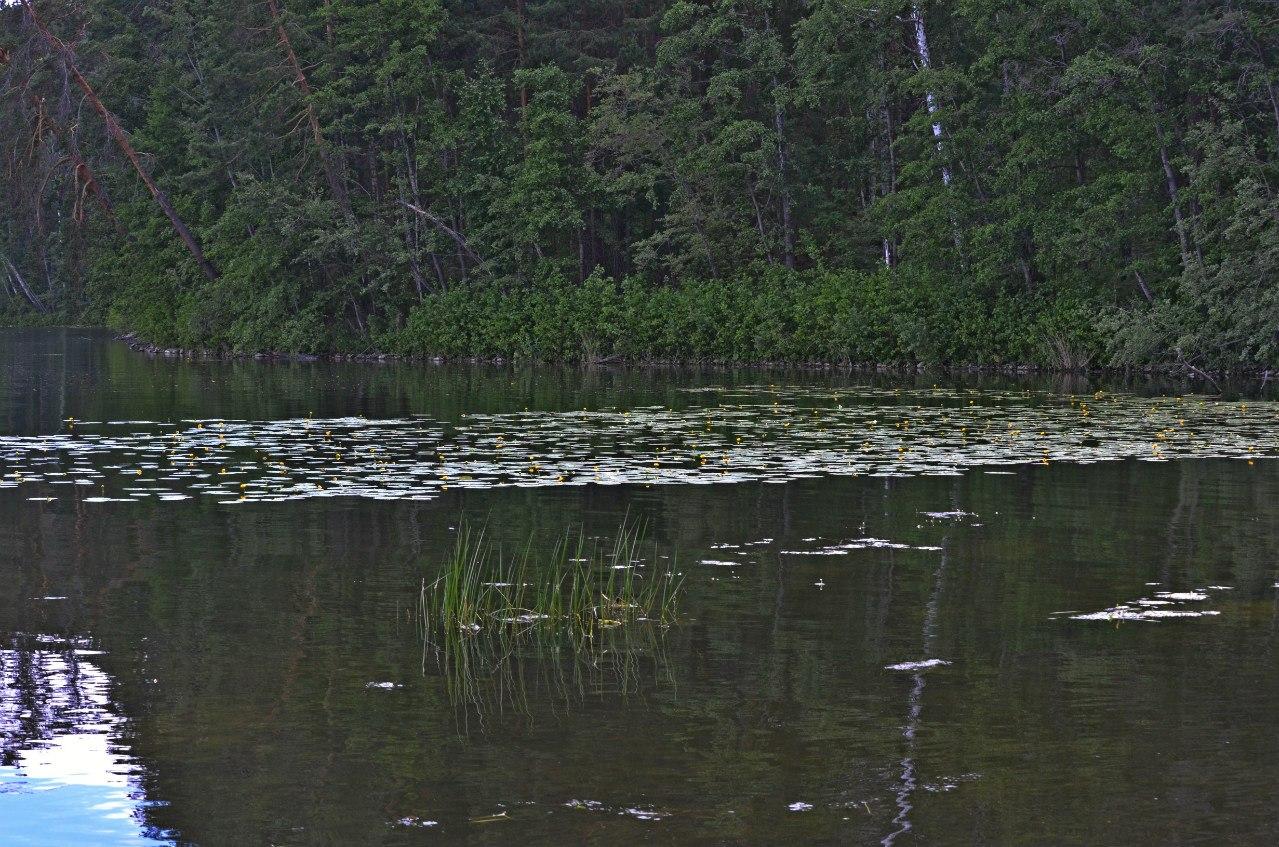 кубышки на воде (06.11.2014)