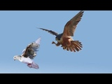 Most amazing Falcons and Hawks Attack, Goshawk, eagle attack