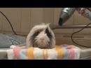 Сушка морской свинки феном. Blow-drying guinea pig