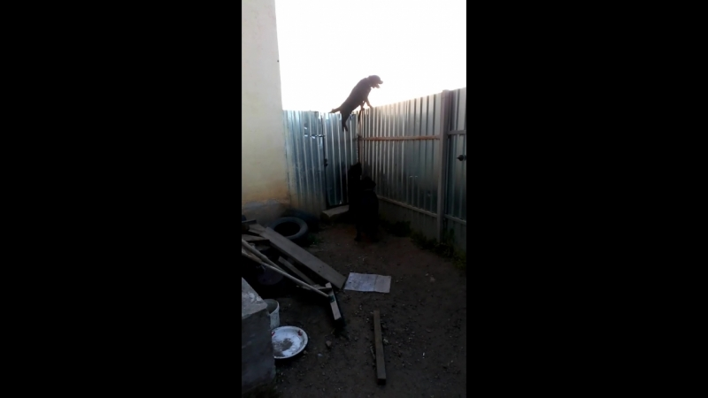 ротвейлер Думает, что он птичка, которая сидит на заборе.