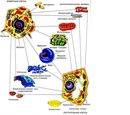 Животная клетка и растительная клетка.