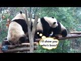 Четыре панды на мосту