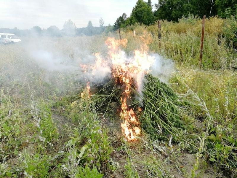 В Северске уничтожили 900 «квадратов» конопли