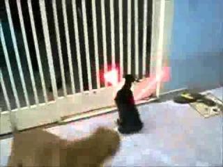 Кот-джедай (а скорее ситх) против собак