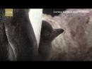 Таймлапс-видео о жизни пингвинов Адели Ученые смогли больше узнать о размножении пингвинов, сняв таймлапс-видео