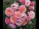 Плетистые розы сорт Пиппин питомник роз Полины Козловой