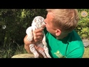 Рождение белых тигров в парке Тайган Крым The birth of white Bengali tigers