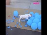 Собака лопает шары