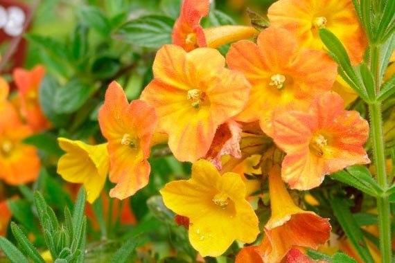 броваллия броваллия - это однолетние и многолетние кустарниковые растения с нарядными трубчатыми цветками. относится броваллия к семейству пасленовых (solanaceae), распространена в центральной и